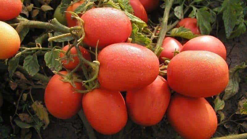 Томат столыпин: описание сорта, характеристика, урожайность, фото и отзывы огородников
