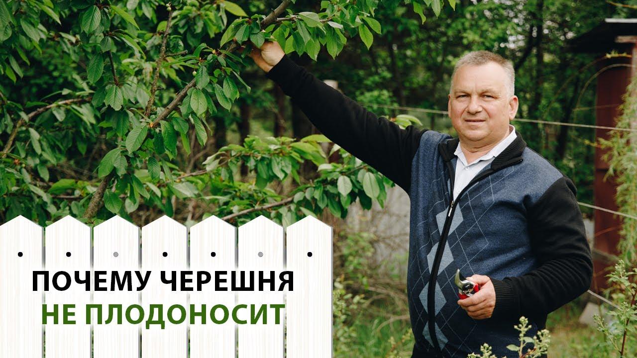 Причины проблем с плодоношением черешни - агро журнал dachnye-fei.ru