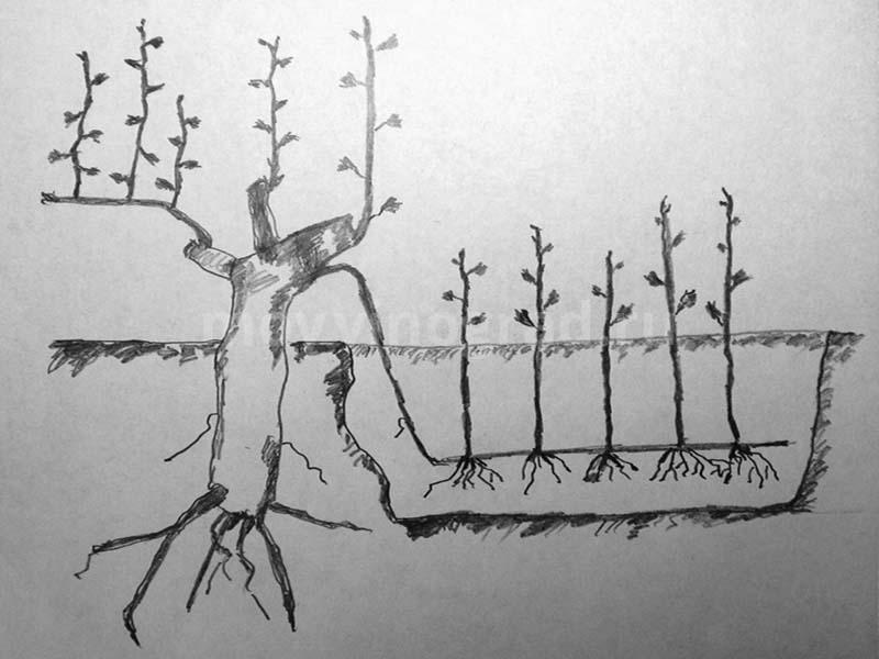 Виноград изабелла: описание сорта, посадка и уход в саду, польза для организма человека