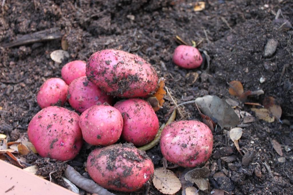 Картофель снегирь: описание сорта, характеристика, отзывы