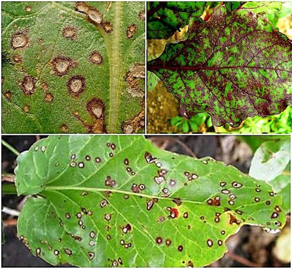Болезни ревеня: почему краснеют листья, вредители, меры борьбы с ними, профилактика