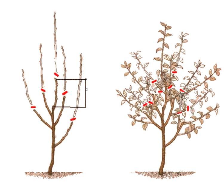 Как правильно проводить обрезку колоновидных яблонь летом и осенью