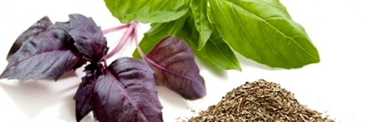 Польза и вред базилика для мужчин: чем отличается фиолетовый от зеленого, и почему, несмотря на полезные свойства, имеет противопоказания для здоровья организма?