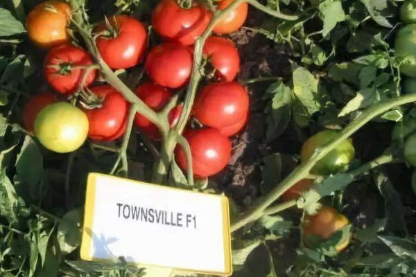 Характеристика и описание томата Таунсвиль f1 и агротехника выращивания
