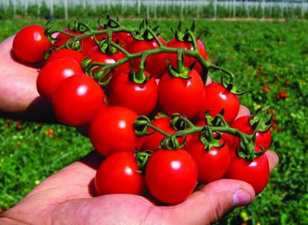 Томаты черри: лучшие сорта для выращивания в открытом грунте, описание, отзывы