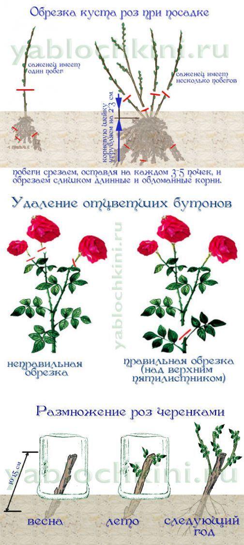 Когда сажать плетистую розу в открытый грунт? опора для плетистой розы. где лучше посадить плетистую розу - sadovnikam.ru