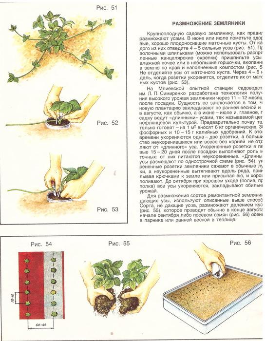 Земляника холидей: выращивание, описание сорта, фото и отзывы