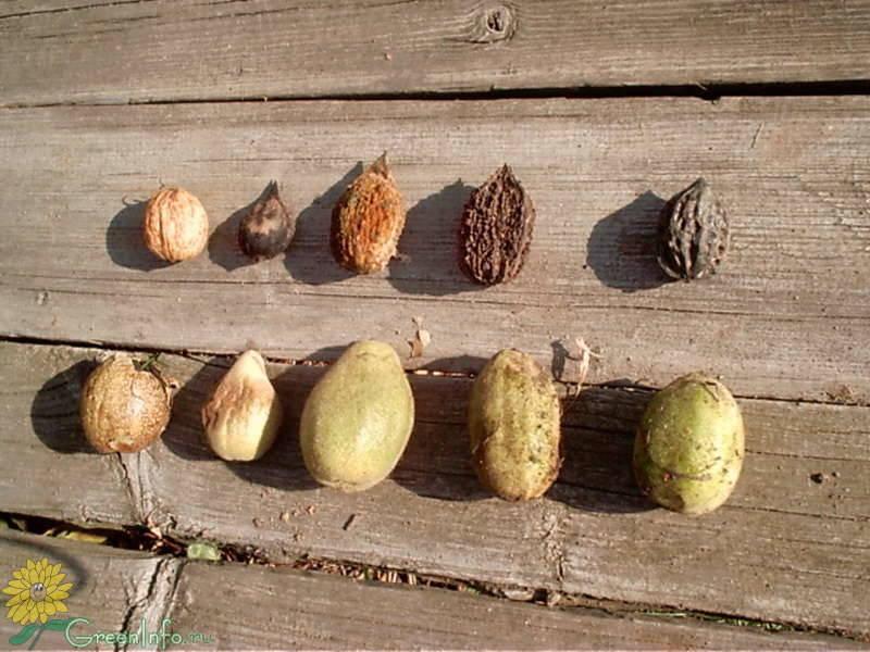 Посадка саженцев грецкого ореха осенью и весной: правила ухода и выращивания