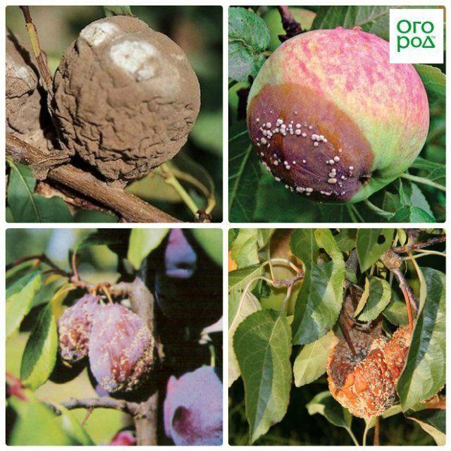 Серая гниль: меры борьбы на помидорах и клубнике, средства и препараты, фото