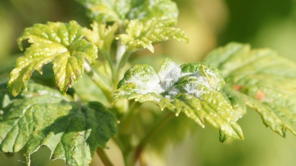 Как бороться с паутинным клещом в теплице 20 легких способов