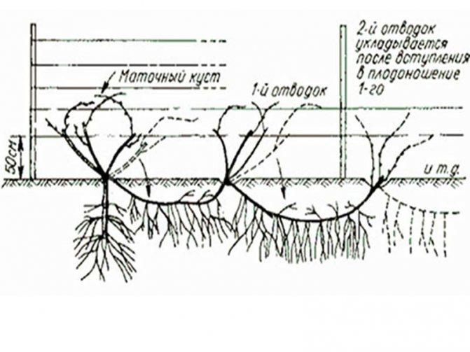 Сорт винограда дарья — описание и особенности выращивания