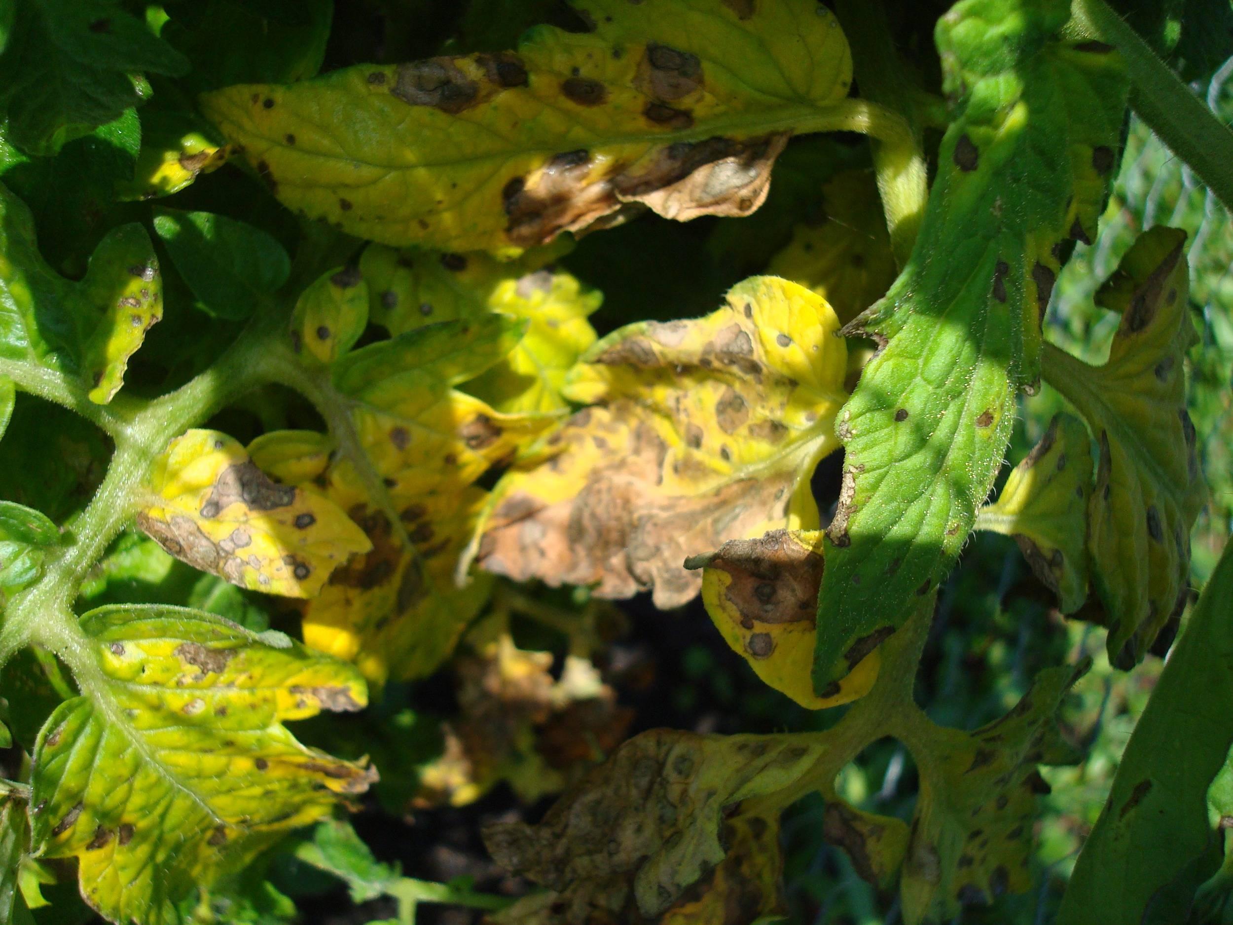 Побелели листья у рассады: причины и способы борьбы с ними | огородники