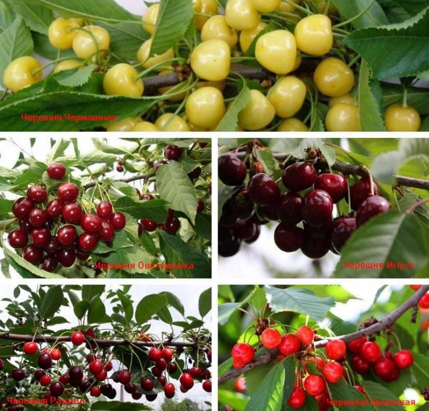 Сорт черешни одринка: отзывы, фото, описание, посадка, выращивание и уход, урожайность, вкусовые качества, обрезка, подкормка, опылители