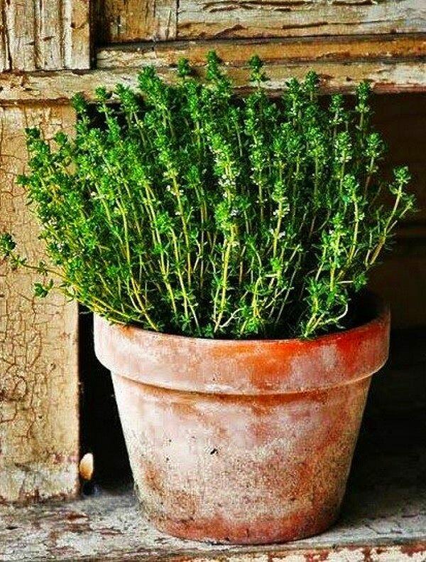 Выращивание пряных трав на подоконнике по простым инструкциям