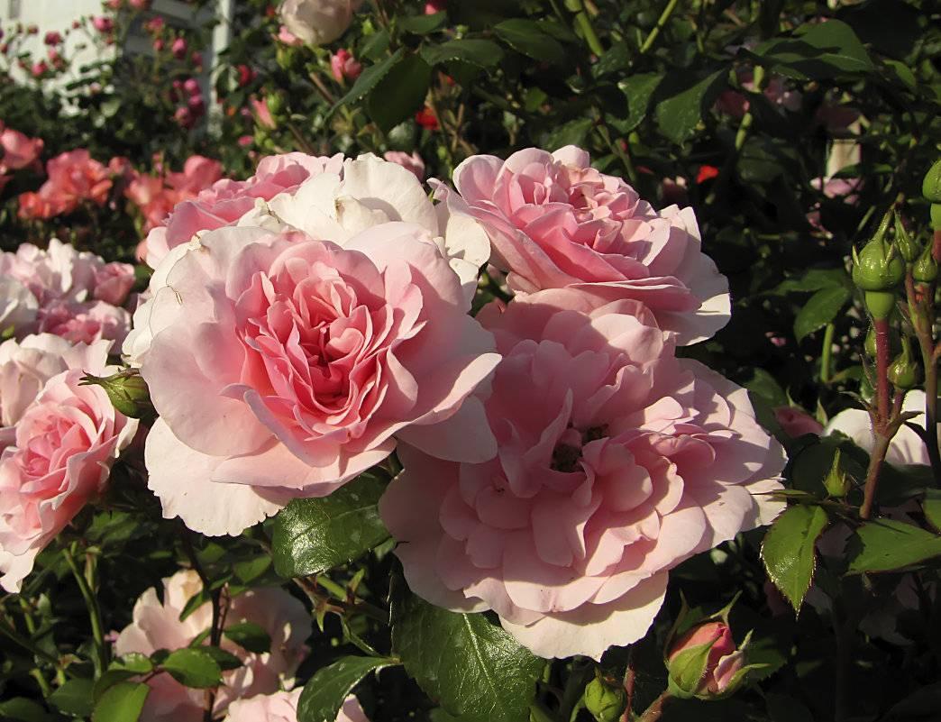 Выращиваем очаровательные розы флорибунда в саду