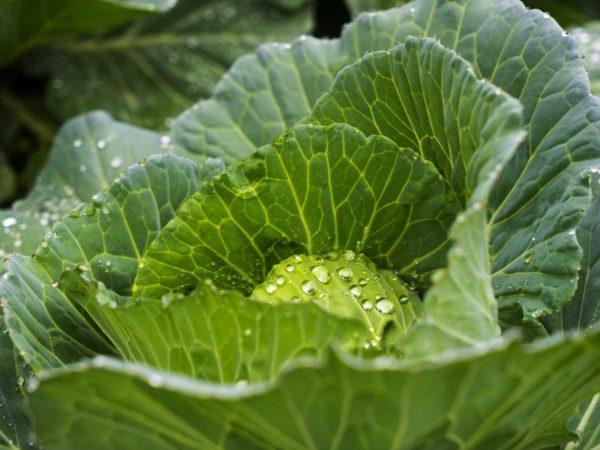 Как часто нужно поливать капусту в открытом грунте, сколько раз и какой водой