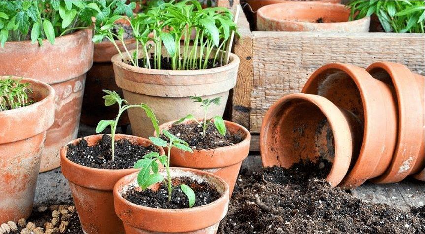 Когда и как правильно пересадить рассаду помидор в теплицу и открытый грунт