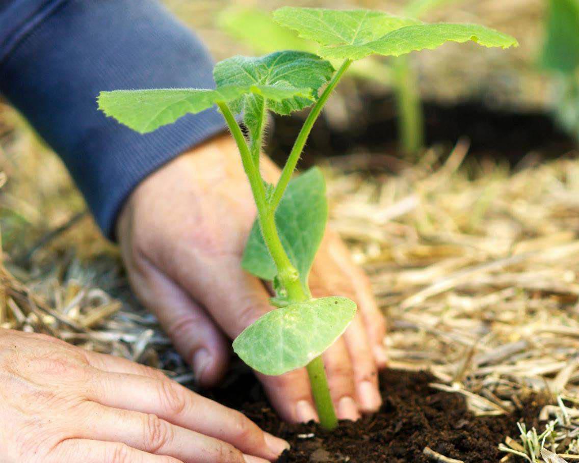 Патиссон: выращивание и уход в открытом грунте