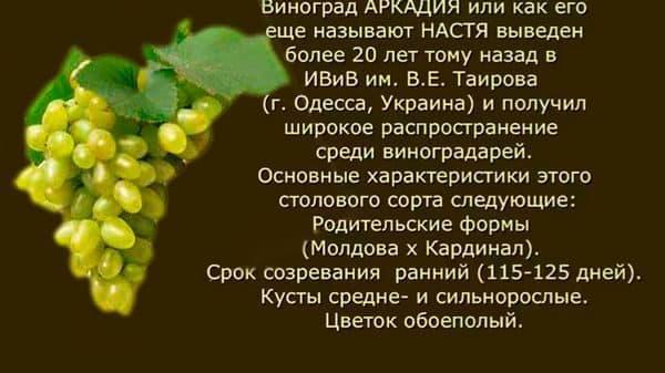 Виноград ромбик: описание раннего сорта, посадка и уход, подверженность болезням