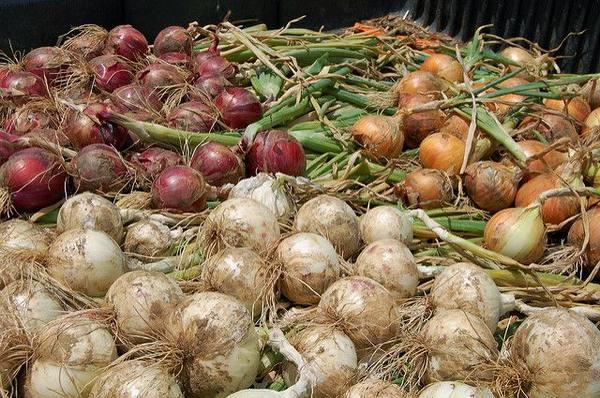 Когда убирать лук с грядки на хранение: определяем готовность урожая