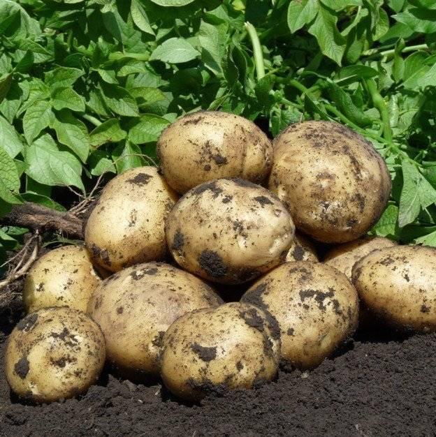 50 фото разных видов и сортов картофеля гала, ? ее полезные свойства и противопоказания
