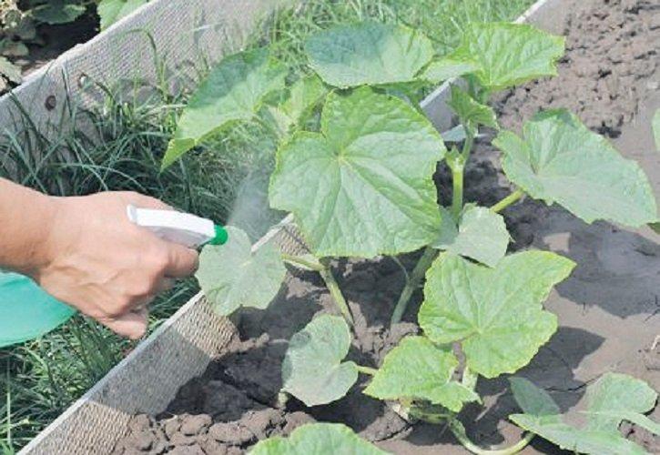 Когда и как сажать огурцы на рассаду для теплицы и избежать ошибок