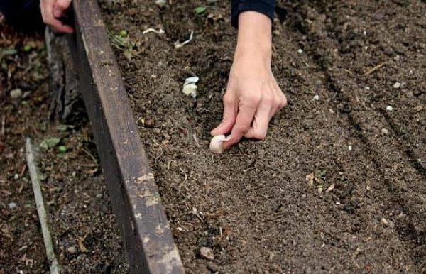 Посадка чеснока весной: выполняем по всем правилам