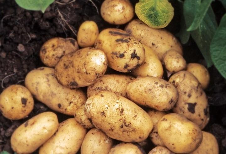 Чёрная картошка – экзотика на огороде