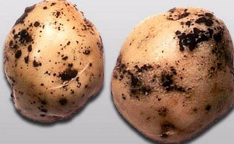 Черная парша (ризоктониоз) картофеля: что это такое, причины, лечение, меры борьбы, фото