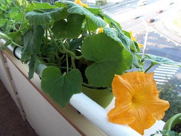 Правила выращивания тыквы на балконе дома и как правильно выбрать сорт