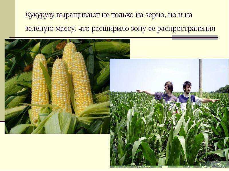 Выращивание кукурузы как бизнес. (апрель 2021) — vipidei.com