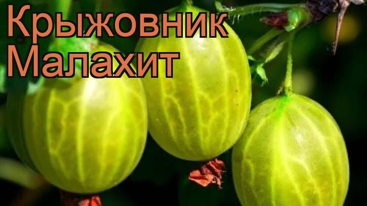 Сорт крыжовника малахит: описание, отзывы
