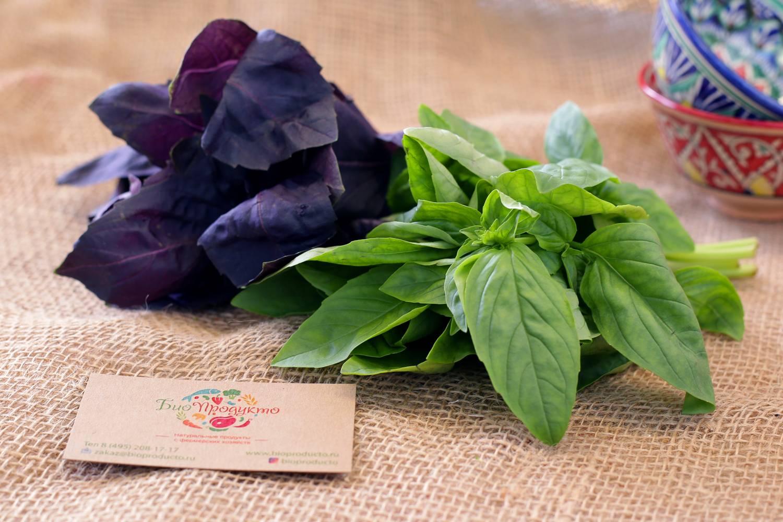 Фиолетовый и зеленый базилик: в чем разница? | zdavnews.ru