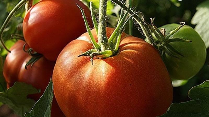 "Томат ""шапка мономаха"": описание сорта, характеристика и фото помидоров русский фермер"