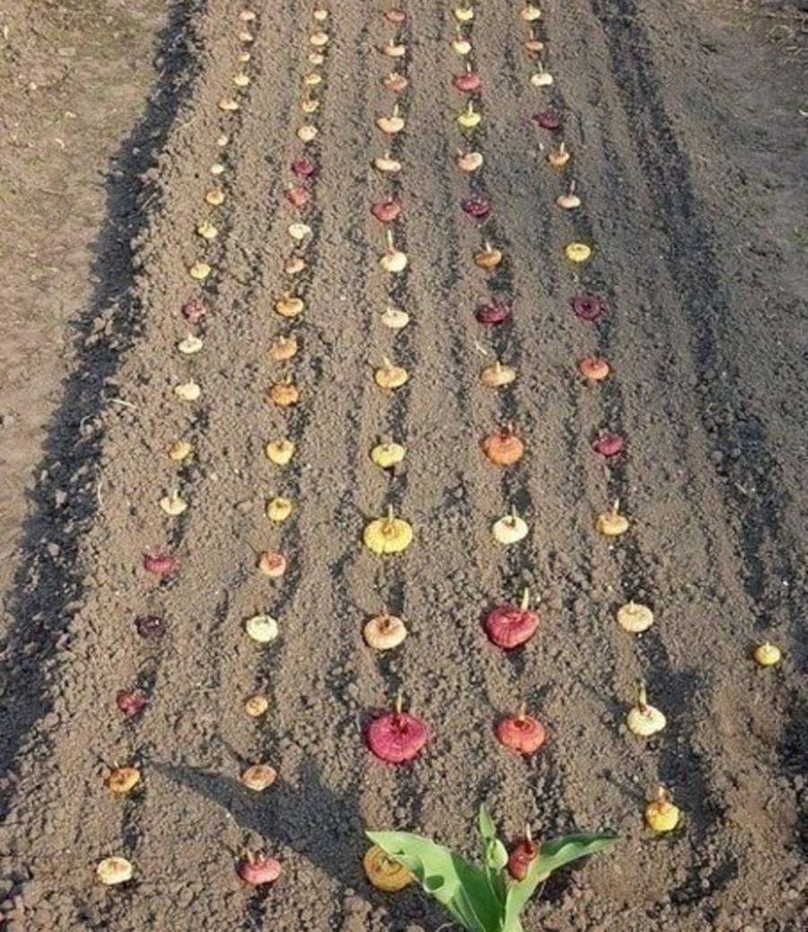 Посадка луковиц и деток гладиолуса в грунт весной: правила, сроки, подготовка