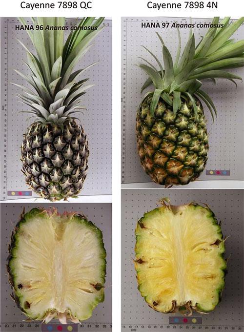 Советы, как выбрать спелый ананас и как его правильно хранить в домашних условиях