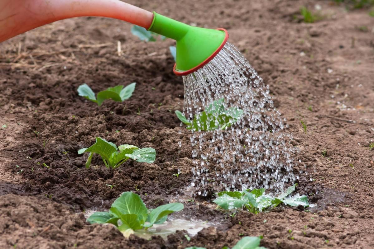 Правильное выращивание рассады капусты