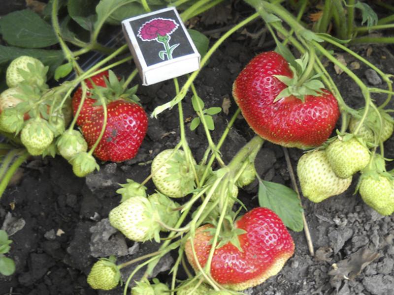 О сорте клубники кисс неллис: описание, агротехника выращивания, как ухаживать