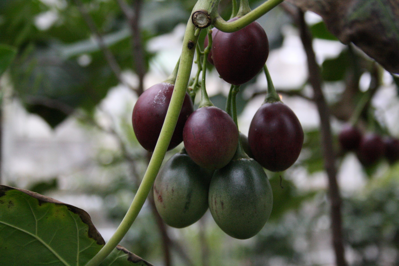 Тамарилло: фрукт, томатное дерево, как его кушать и выращивание с фото