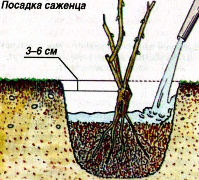 Сорт винограда изабелла – описание и особенности выращивания