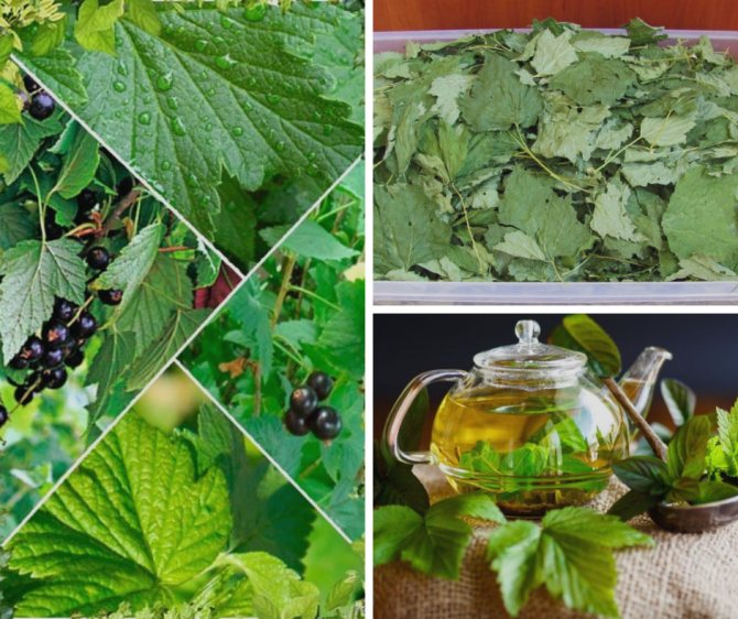 Чем полезны листья чёрной смородины для мужчин и женщин, их свойства, как правильно собрать и высушить листву