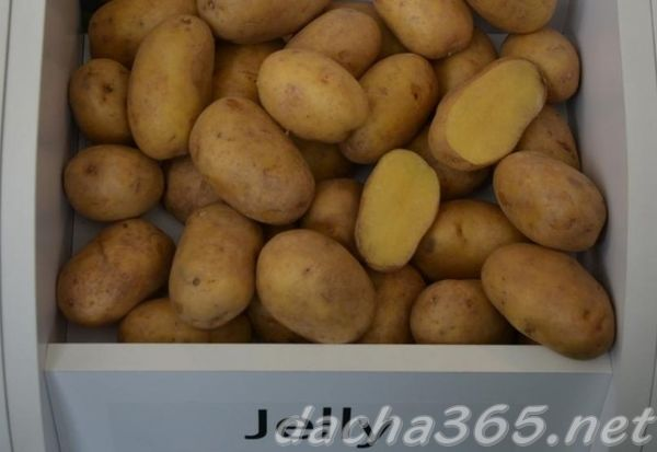 """Картофель """"джувел"""": описание сорта, фото и характеристики семенной картошки русский фермер"""
