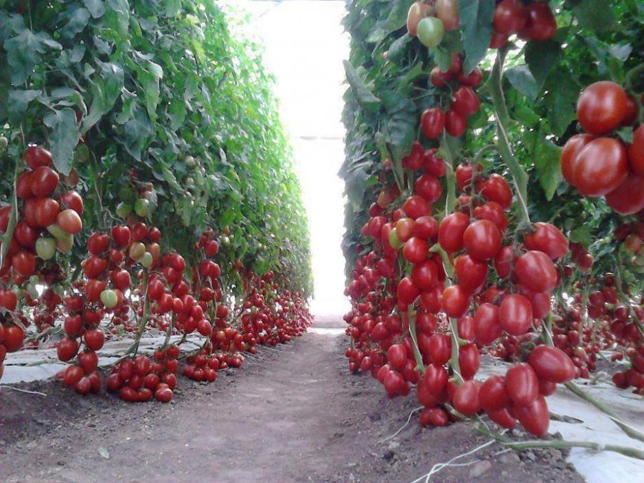 Ленивый способ выращивания помидор и лучшие сорта для этого