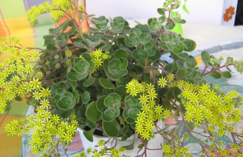 Аихризон (47 фото): уход за цветком «деревом любви и счастья» в домашних условиях, размножение комнатного растения с листьями сердцевидной формы