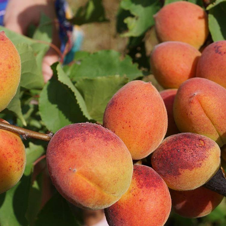 Описание 11 лучших сортов абрикоса для выращивания в сибири, тонкости посадки и ухода