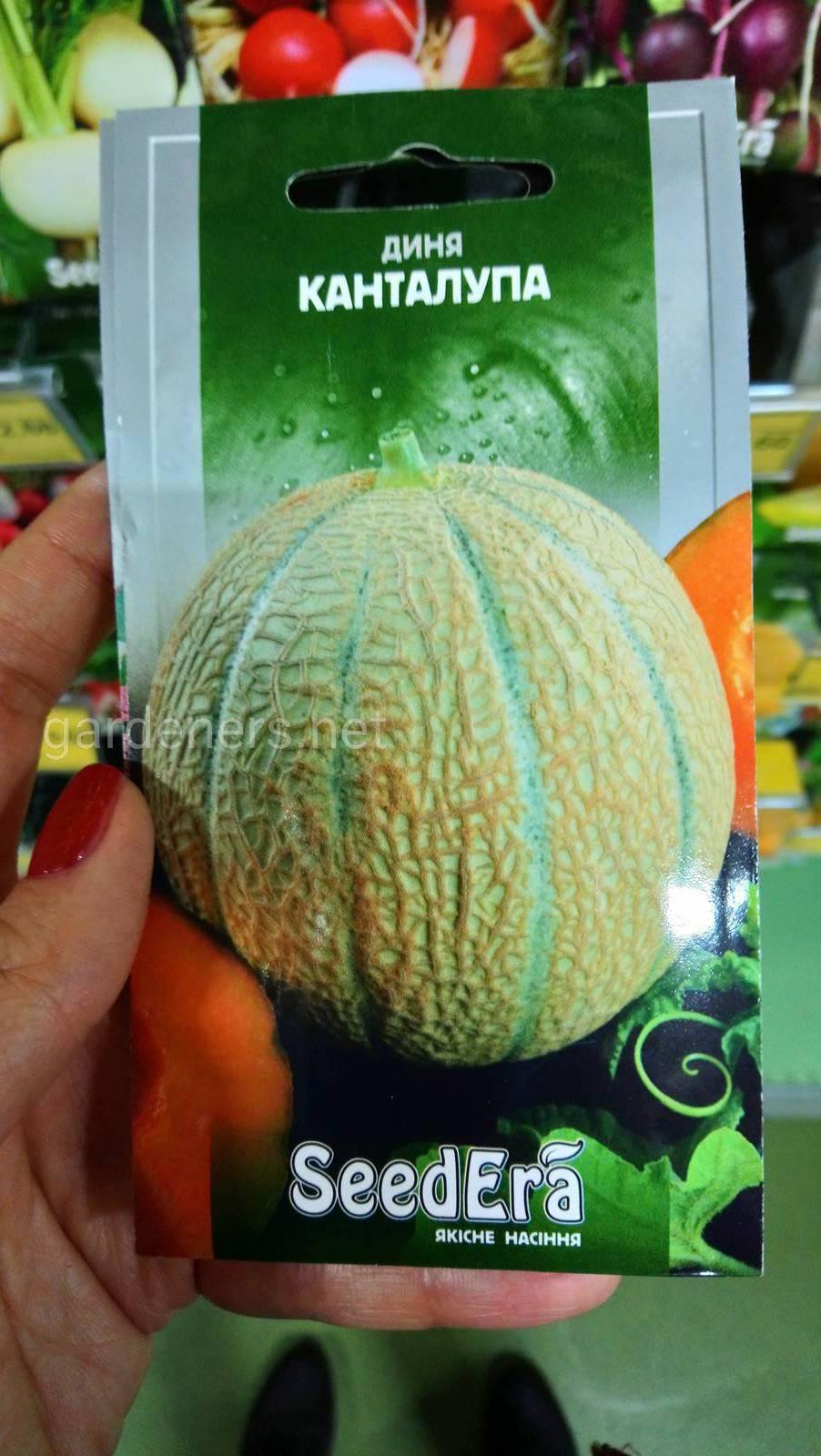 Дыня канталупа, особенности выращивания с фото