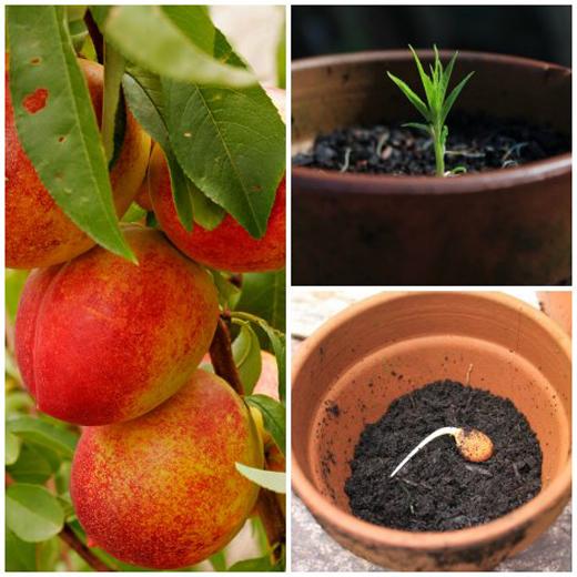 Как вырастить персик из косточки: в домашних условиях, посадить, в горшке как вырастить персик из косточки: в домашних условиях, посадить, в горшке