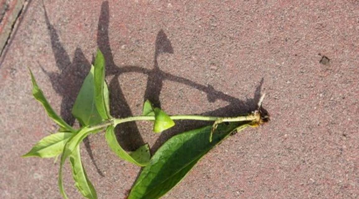 Флокс метельчатый— уход, посадка, размножение