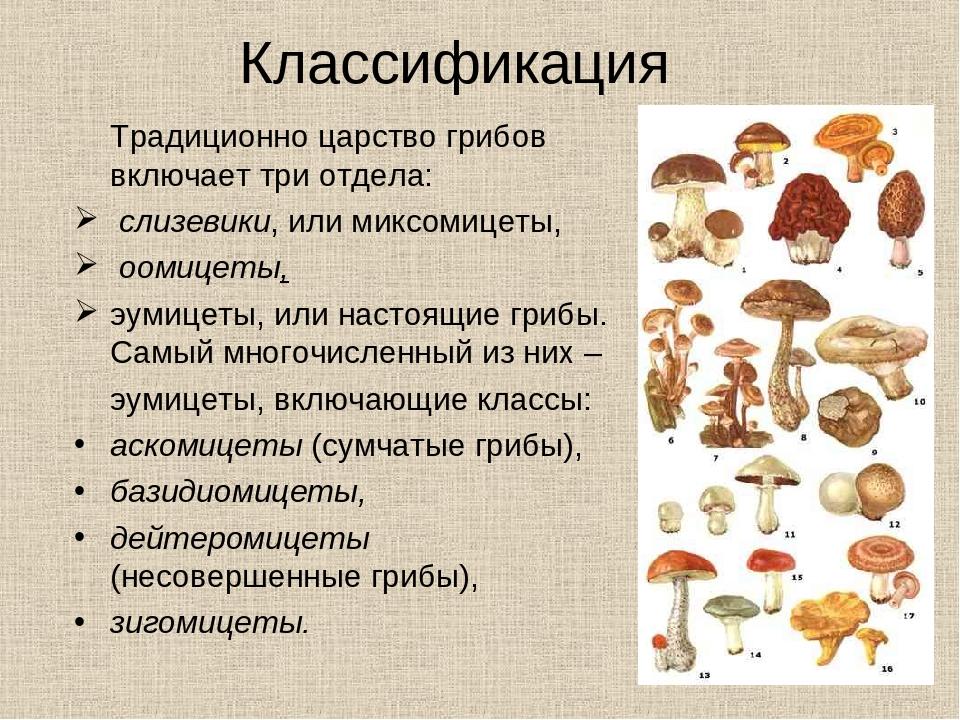 Цезарский гриб дальневосточный(amanita caesareoides).