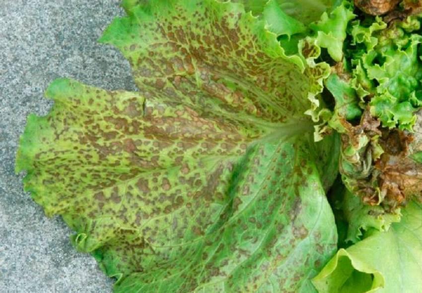 Болезни савойской капусты: лечение и профилактика | огородники